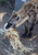 One of Oakland Zoo's three new spotted hyenas plays with an enrichment treat in their habitat at the zoo in Oakland, Calif. on Thursday, Jan. 10, 2013. The hyenas were relocated from the Berkeley Hyena Center at UC Berkeley, where they were being studied in a research program which suffered funding cuts.  (Jane Tyska/Staff)