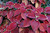 COLEUS: This plant, which comes in a range of sizes, shapes and colors, is grown mainly for its gorgeous leaves, available in shades of vivid scarlet, chartreuse or purple. (Elizabeth Jardina/SMCT Archives)