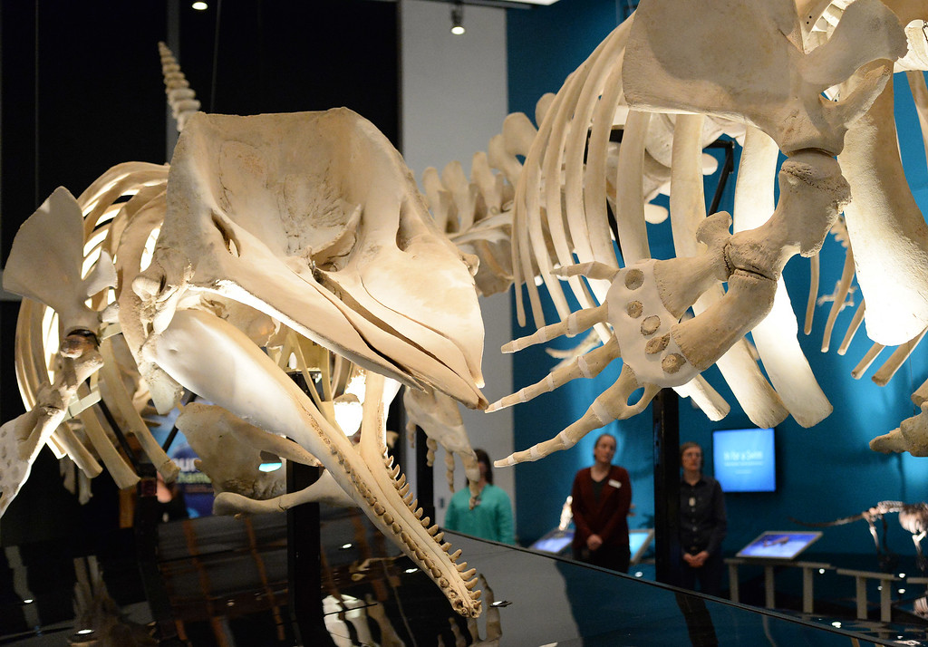 Photos from new whales exhibit at California Academy of Sciences