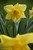 Yellow daffodils are seen along Skyline Boulevard in Oakland, Calif., on Friday, March 15, 2013. (Jane Tyska/Staff)