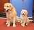 Two Golden retrievers, Major, left, and Gibbs enjoy their time in the spotlight. (Photo by Gary Gershoff/Getty Images)