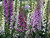 FOXGLOVE: Some varieties will grow to six feet in height, though most are usually 2 to 3 feet tall. (Judith Cody/Contributed)