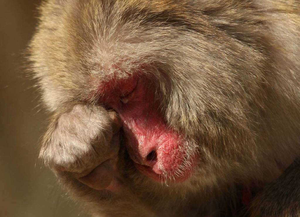 Description of . A Japanese macaque suffers from hay fever, the result of her cedar pollen allergy, at Awajishima Monkey Centre in Sumoto, Hyogo, Japan. (Buddhika Weerasinghe)