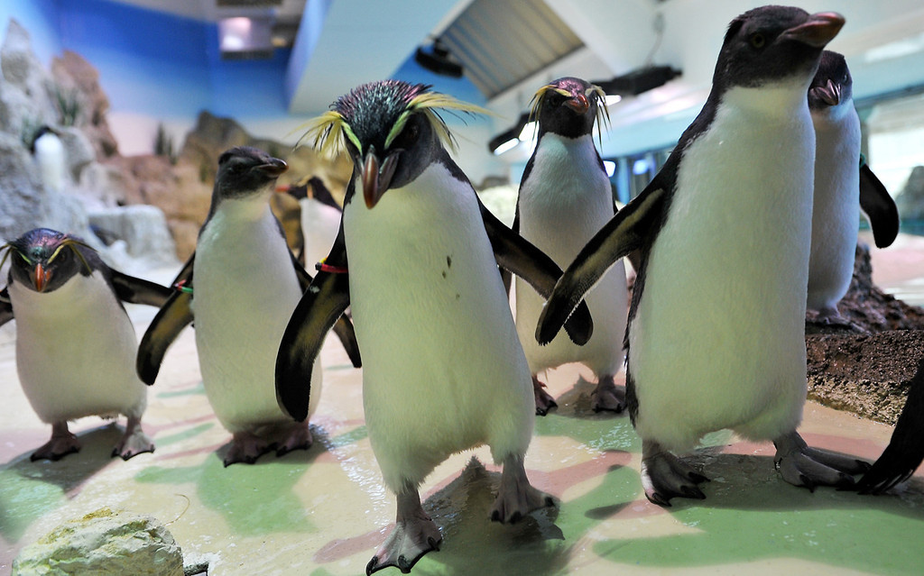 Description of . Southern rockhopper penguins at the new Polar World at Hellabrunn Zoo in Munich, Germany, on March 26, 2013.  AFP PHOTO / FRANK LEONHARDT