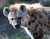 One of Oakland Zoo's three new spotted hyenas is seen in their habitat at the zoo in Oakland, Calif. on Thursday, Jan. 10, 2013. The hyenas were relocated from the Berkeley Hyena Center at UC Berkeley, where they were being studied in a research program which suffered funding cuts.  (Jane Tyska/Staff)