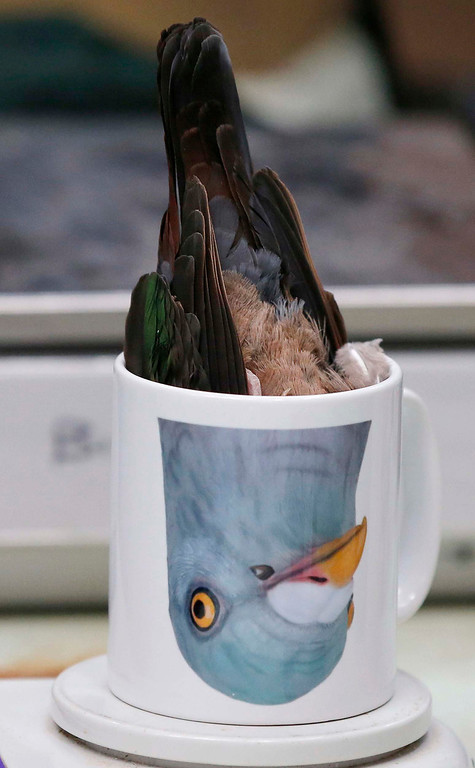 Description of . An emerald dove is inverted in a mug for weighing during the annual bird health check at Chester Zoo in northern England, March 6, 2013. REUTERS/Phil Noble