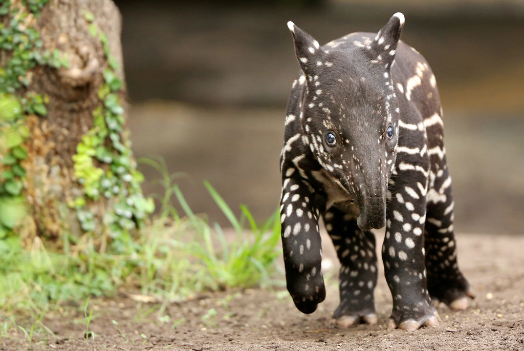 Description of . Young Malayan tapir Baru at the zoo in Leipzig, eastern Germany, on March 27, 2013. AFP PHOTO / JAN WOITAS
