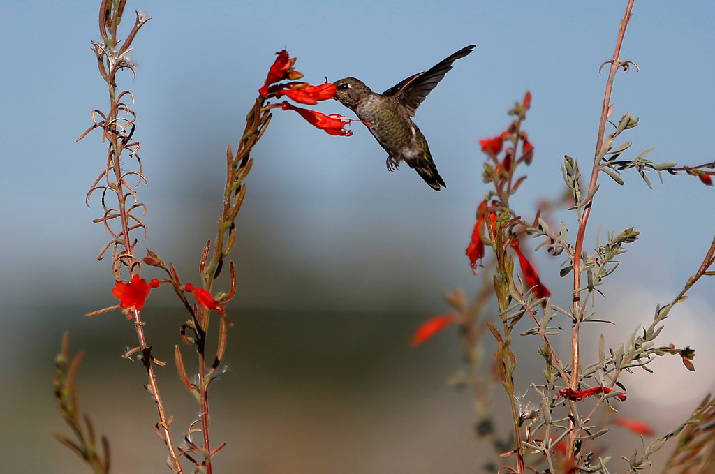 . A hummingbird at the Ulistac Natural Area in Santa Clara, Calif. on Thursday, Sept. 19, 2013.  The 49ers and the city of Santa Clara are proposing to develop part of a 40-acre natural open space into soccer fields to make way for extra parking next to the new stadium.  (Nhat V. Meyer/Bay Area News Group)