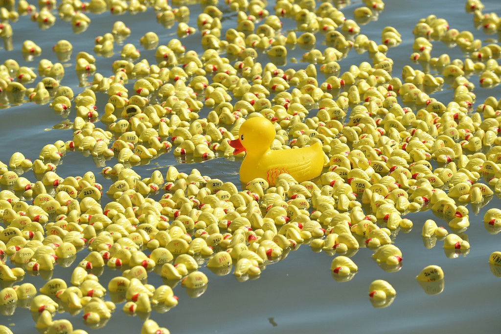 . Yellow ducks float in the water at the Pittsburg Marina during the yellow duck races in Pittsburg, Calif., on Saturday, Sept. 28, 2013. The races benefit the Pittsburg Marching Show Band, which is trying to raise money so they can participate in the New Year\'s Day parade in London. (Dan Rosenstrauch/Bay Area News Group)