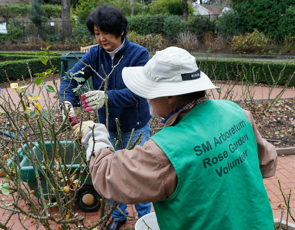 . Sayoko Lesure and husband Thomas prune rose bushes in Central Park on Saturday. (John Green/Bay Area News Group)