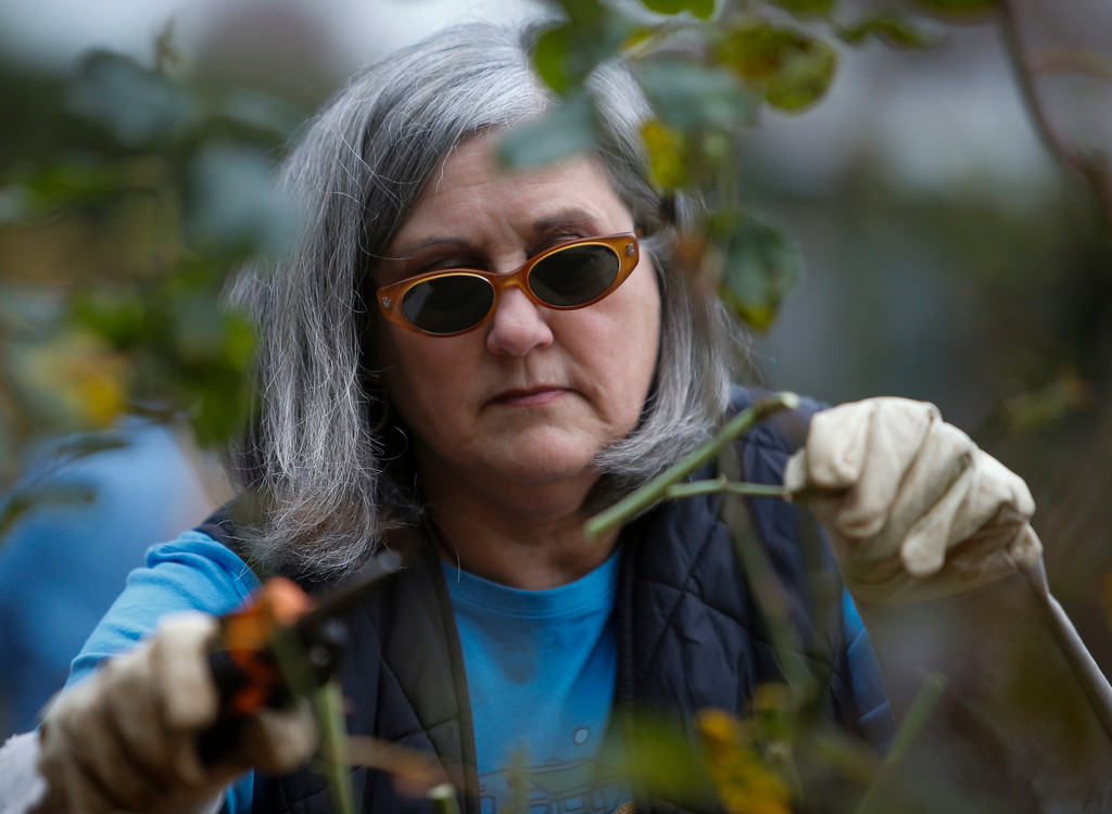 . Volunteer Brena Bailey, of San Mateo, prunes roses in the San Mateo rose garden in Central Park on Saturday, Jan. 11, 2014. (John Green/Bay Area News Group)