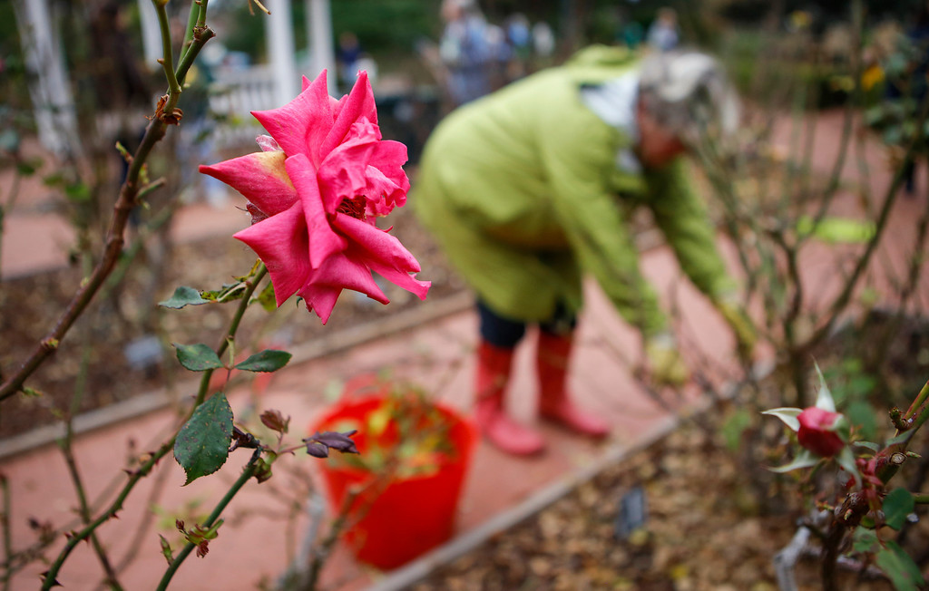 . Volunteers prune rose bushes in Central Park. (John Green/Bay Area News Group)