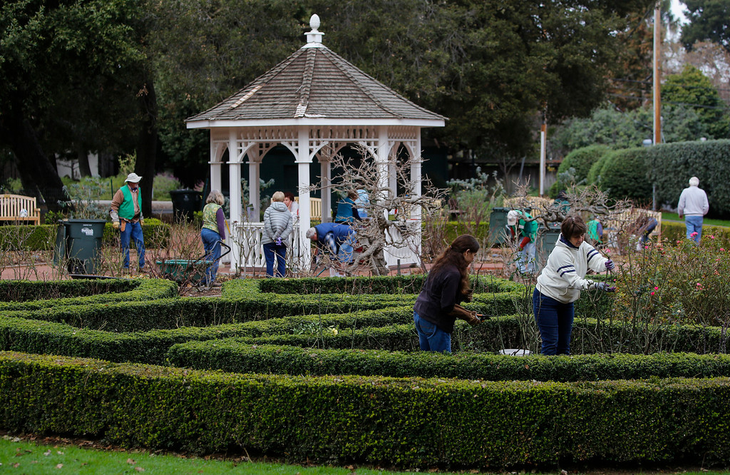 . Volunteers prunes roses in the San Mateo rose garden in Central Park on Saturday, Jan. 11, 2014. About 25 volunteers came out to help prepare the garden and rose bushes for the coming growing season. (John Green/Bay Area News Group)
