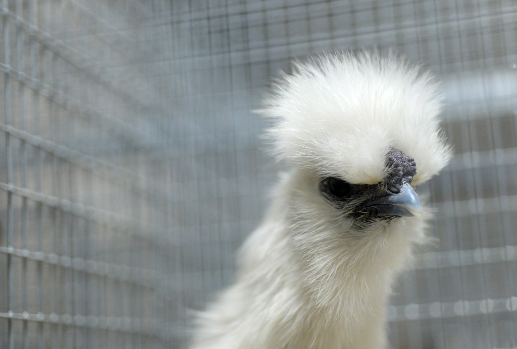 . A white Silkie chicken peers out of its cage while on display at the Alameda County Fair. (Doug Duran/Bay Area News Group)