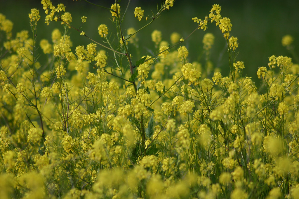 . Wild mustard. (Joan Morris/Mercury News)