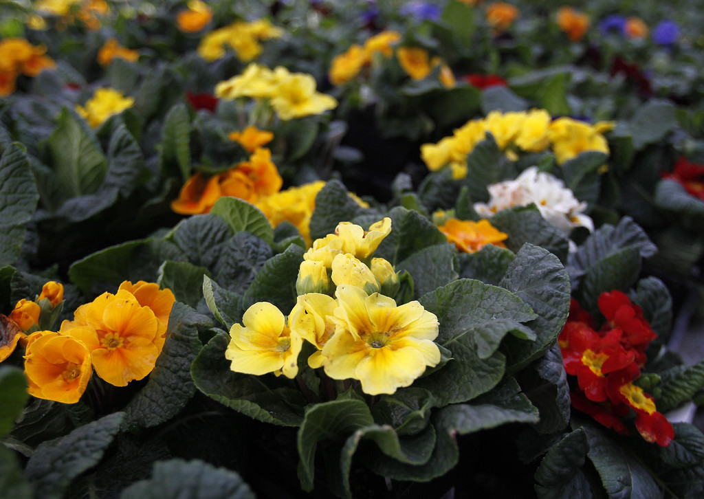 . PRIMROSE: This annual blooms from late winter through mid-spring, offering a wide range of colors as well as a nice, delicate fragrance. (Nhat V. Meyer/Staff Archives)
