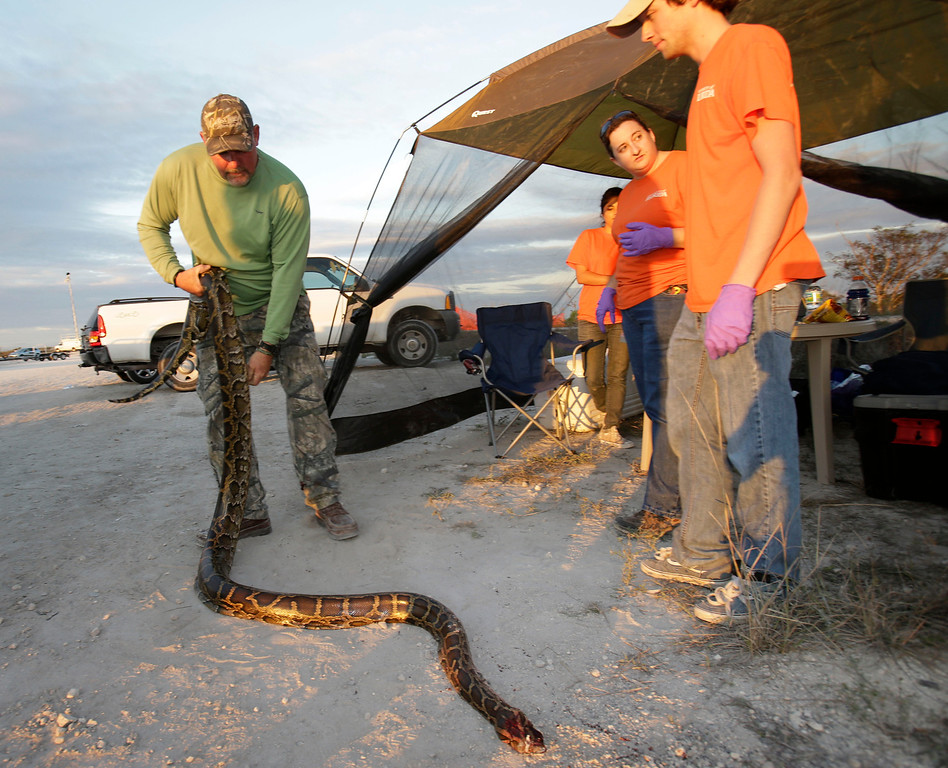 . Bill Booth of Bradenton, Fla. stretches out dead Burmese python he caught, for students from the University of Florida to measure. Wildlife officials say more than 1,000 people signed up for the competition that began Saturday and ends Feb. 10. (AP Photo/Wilfredo Lee)