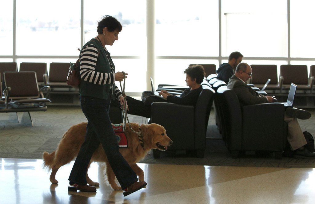 ". Kyra Hubis walks her ""therapy dog\"" Henry Jame through Terminal B at Mineta San Jose International Airport in San Jose, Calif. on Monday, Jan. 28, 2013. Henry is one of eleven dogs used by the airport\'s interfaith chaplaincy to help passengers who are dealing with grief, stress, or need emotional support at the airport. (Karl Mondon/Staff)"