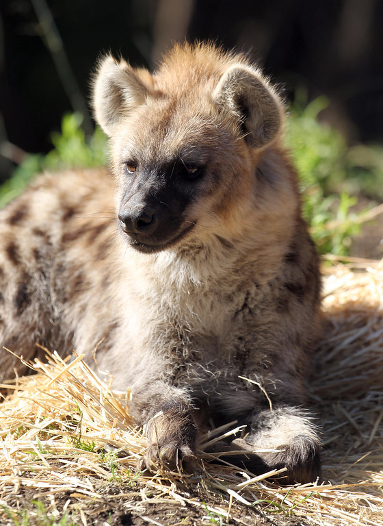 . One of the Oakland Zoo\'s three new spotted hyenas is seen in their habitat at the zoo in Oakland, Calif. on Thursday, Jan. 10, 2013. The hyenas were relocated from the Berkeley Hyena Center at UC Berkeley, where they were being studied in a research program which suffered funding cuts.  (Jane Tyska/Staff)