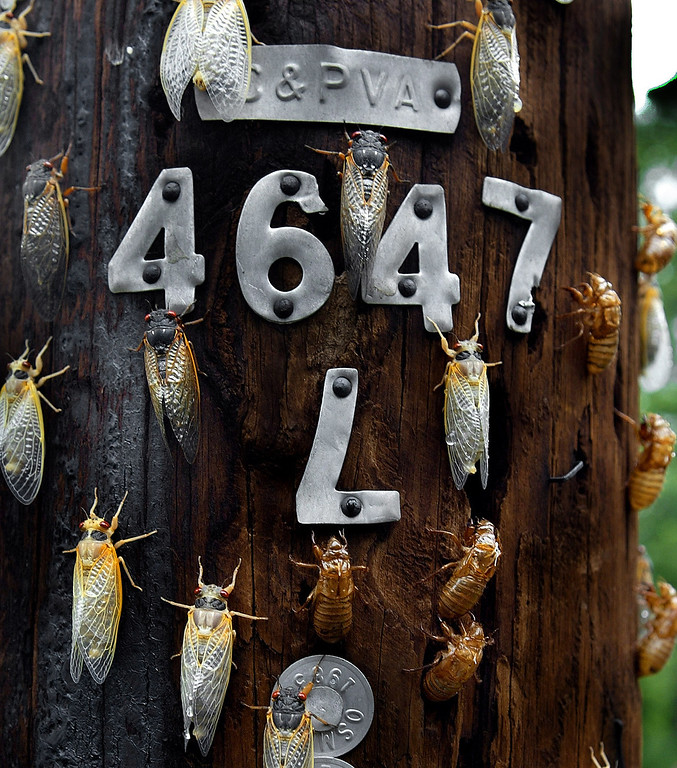 . After a 17-year nap, Cicadas climb up a telephone pole Sunday, May 16, 2004 in Annandale, Va. Trillions of red-eyed insects are crawling their way above ground in 14 states and the nation\'s capital. Loudmouthed and ugly, the cicadas will fly clumsily into pets, bushes and unwitting pedestrians as they engage in a frenetic mating ritual that lasts well into June. Then they\'ll disappear for another 17 years. (AP Photo/Ron Edmonds)