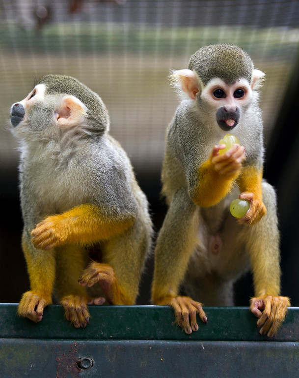 . Two of seven new squirrel monkeys at the zoo in Dortmund, Germany, on May 7, 2013. AFP PHOTO/ DANIEL NAUPOLD