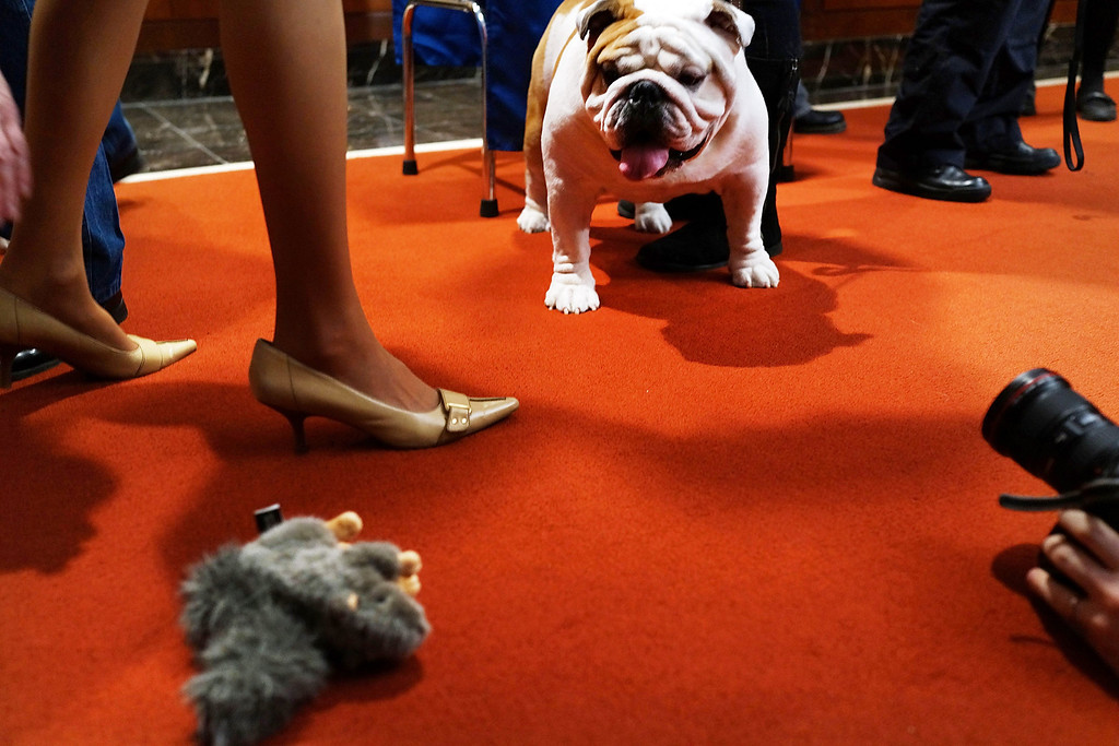 . Munch, a bulldog, broken into the Top Five of most popular dogs according to the American Kennel Club. (Photo by Spencer Platt/Getty Images)