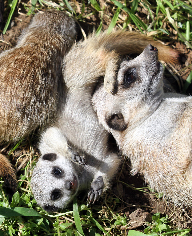 . Enjoying the sun, the whole family, including the meerkat pups,  lounges in the grass in their habitat at the Oakland Zoo in Oakland, Calif., on Monday, March 11, 2013.The three 6-week old pups were given names that are African in origin, Ayo (joy), Rufaro (happiness), and Nandi (sweet). They were born Feb. 7, bringing the zoo\'s  total to eight meerkats in the mob (group of meerkats). (Laura A. Oda/Staff)