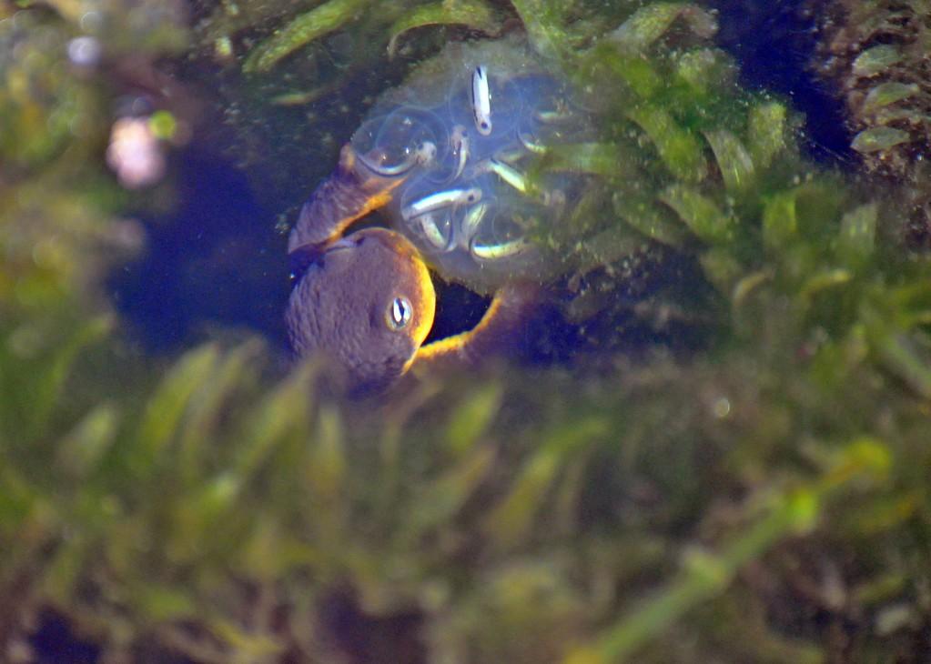 . The developing newts can be seen inside egg sacks. (Photo by Melanie Hofmann)