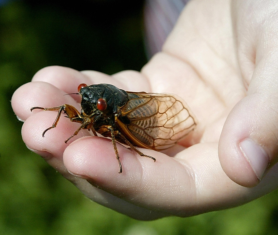 . A child holds up a cicada in Alexandria, Virginia 14 May 2004. The cicadas have emerged after 17 years and they expected to populate the mid-Atlantic area of the United States. (STEPHEN JAFFE/AFP/Getty Images)