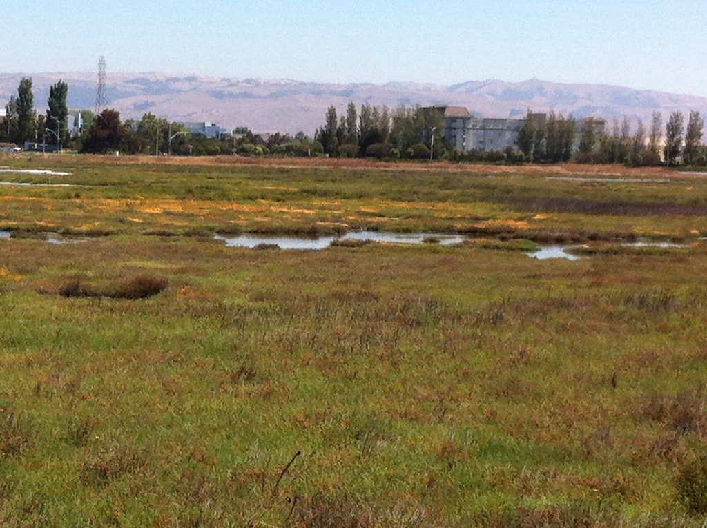 . Acres of pickleweed thrive in the marsh, providing ample food and habitat for the endangered salt marsh harvest mouse.  (Joan Morris/Staff)