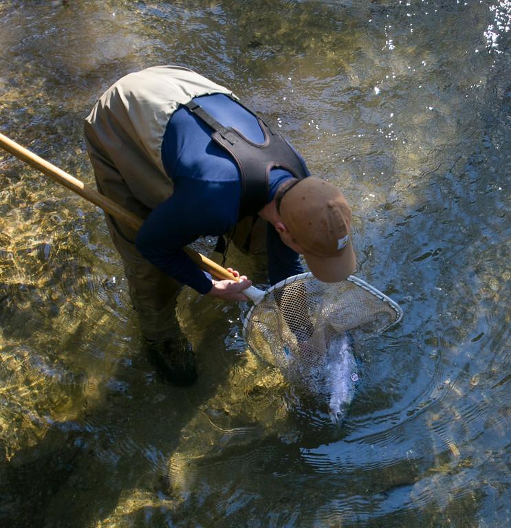 . Joe Kiernan, a resource ecologist with the National Marine Fisheries Service, releases an adult coho salmon into San Vicente Creek in Santa Cruz County on Jan 16, 2013. (John Green/Staff)