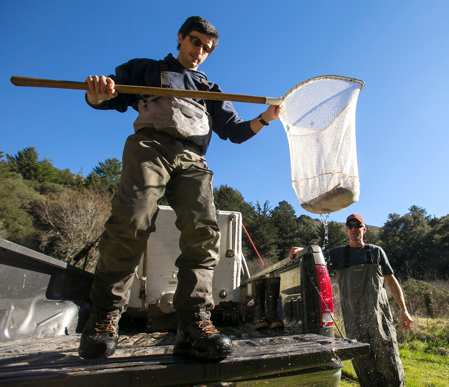 . Noah Parker, left, and Walter Heady, right, prepare to release adult coho salmon into San Vicente Creek in Santa Cruz County on Jan. 16, 2013. (John Green/Staff)