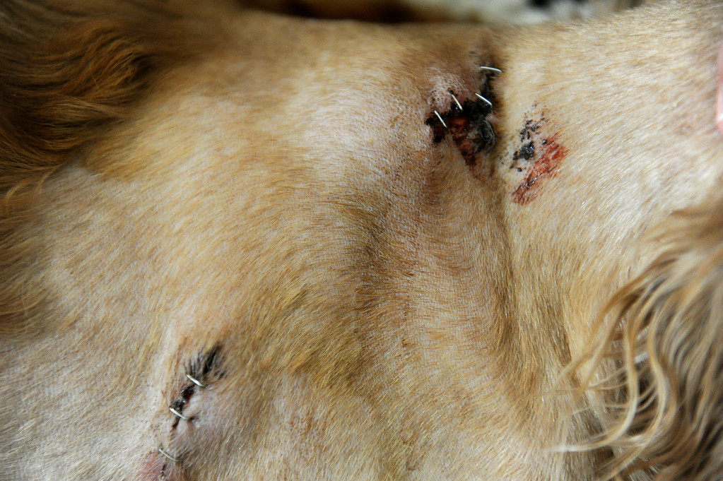 . The entry wound from a bullet can be seen at top and the exit wound at bottom, yet a portion of the bullet remains near the spine of Kirby, 13, a cocker spaniel retriever mix, who recovers at home with owner  Zach Grimm in Concord, Calif., on Monday, June 24, 2013. Kirby was in the backyard while police were looking for a prowler. He barked at an officer that entered the yard and was shot. Grimm is angry at the police and says he would like an apology. (Susan Tripp Pollard/Bay Area News Group)