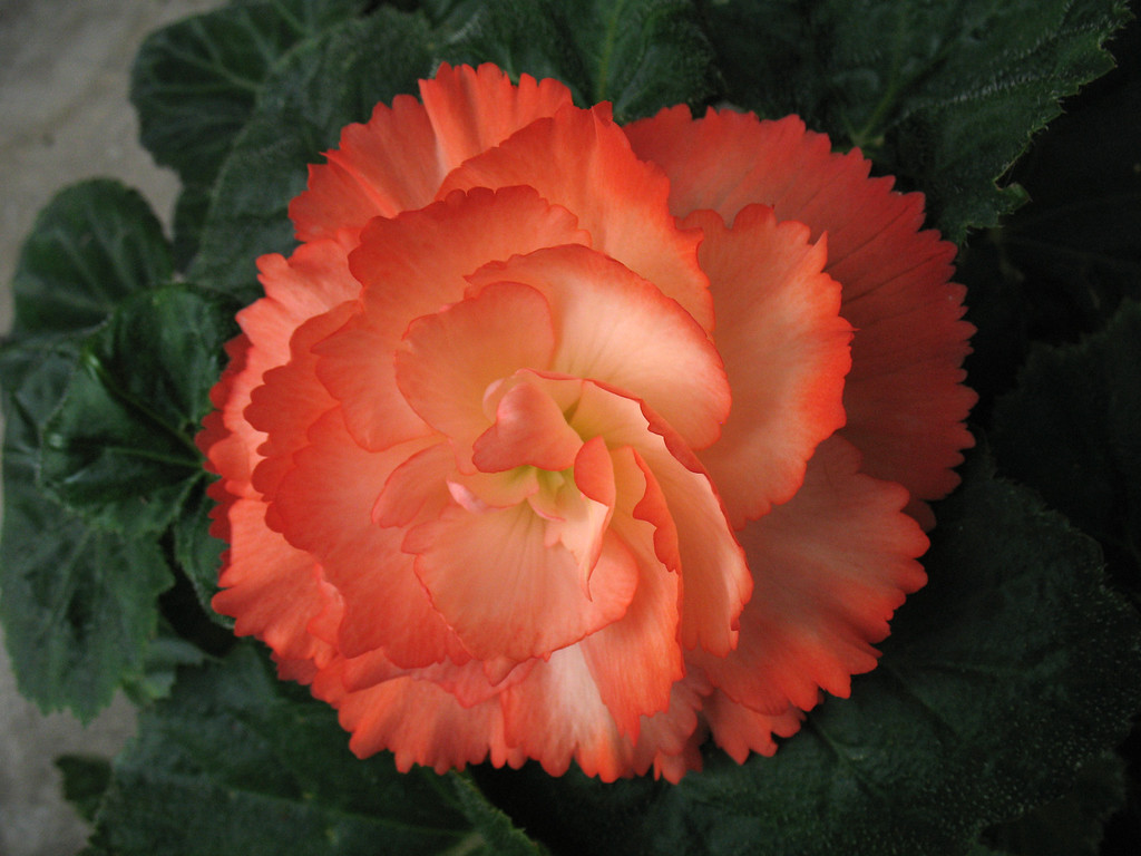 . BEGONIA: They continue blooming all summer long and, in our climate, can last for several years. (Rebecca Jepsen/Contributed)