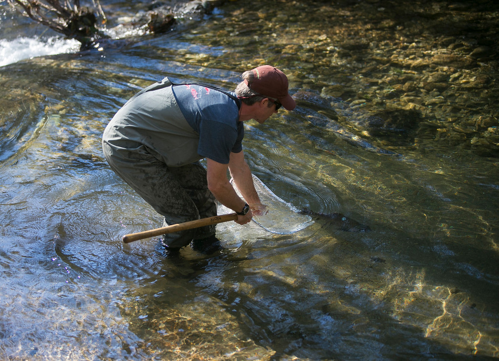 . Walter Heady, a freshwater ecologist, releases an adult coho salmon into San Vicente Creek in Santa Cruz County on Wednesday, Jan 16, 2013. (John Green/Staff)