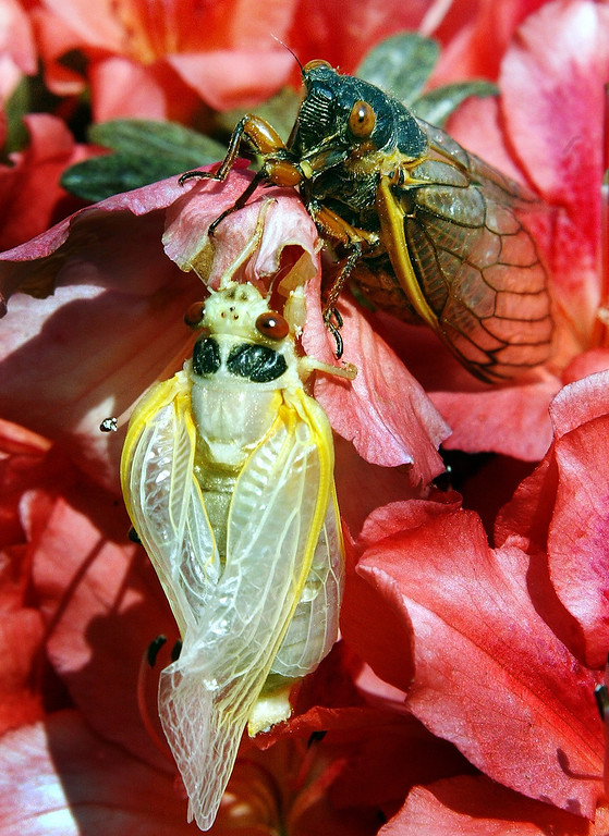 . After a 17-year nap a pair of newly emerged Cicadas are seen in a suburban Washington yard. Trillions of red-eyed insects are crawling their way, Saturday, May 15, 2004, above ground in 14 states and the nation\'s capital. Loudmouthed and ugly, the cicadas will fly clumsily into pets, bushes and unwitting pedestrians as they engage in a frenetic mating ritual that lasts well into June. Then they\'ll disappear for another 17 years. (AP Photo/Ron Edmonds)