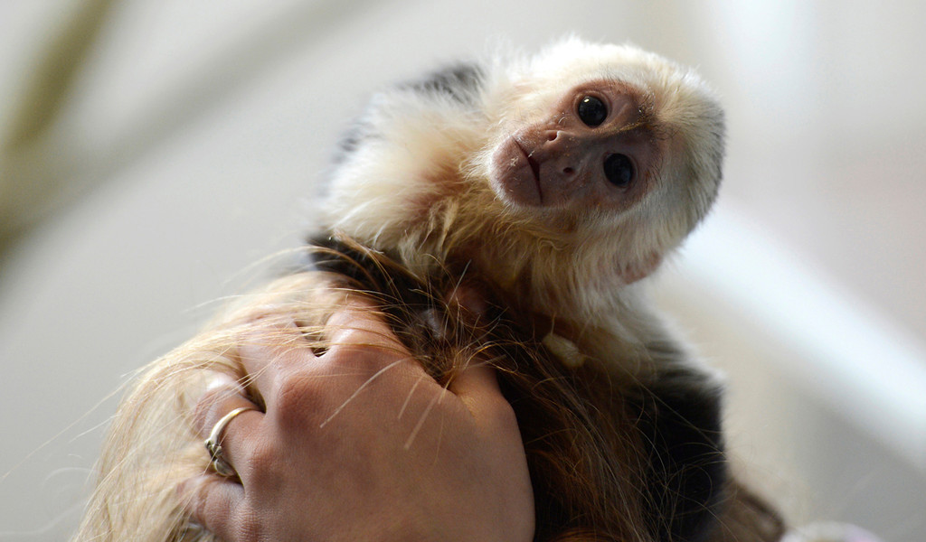 ". Singer Justin Bieber\'s capuchin monkey ""Mally,\"" at a home for animals in Munich. German customs authorities confiscated the monkey in March 2013 after Bieber entered the country without the animal\'s health documents.    AFP PHOTO / CHRISTOF STACHE"