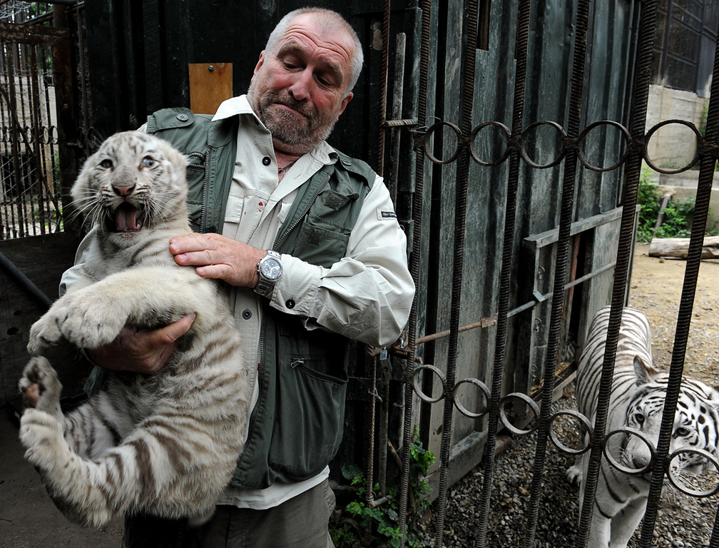 . Tbilisi Zoo director Zurab Gurielidze with a 10-week-old white tiger cub next to the cage of its mother, Cameron,  on May 29, 2013. AFP PHOTO /VANO SHLAMOV