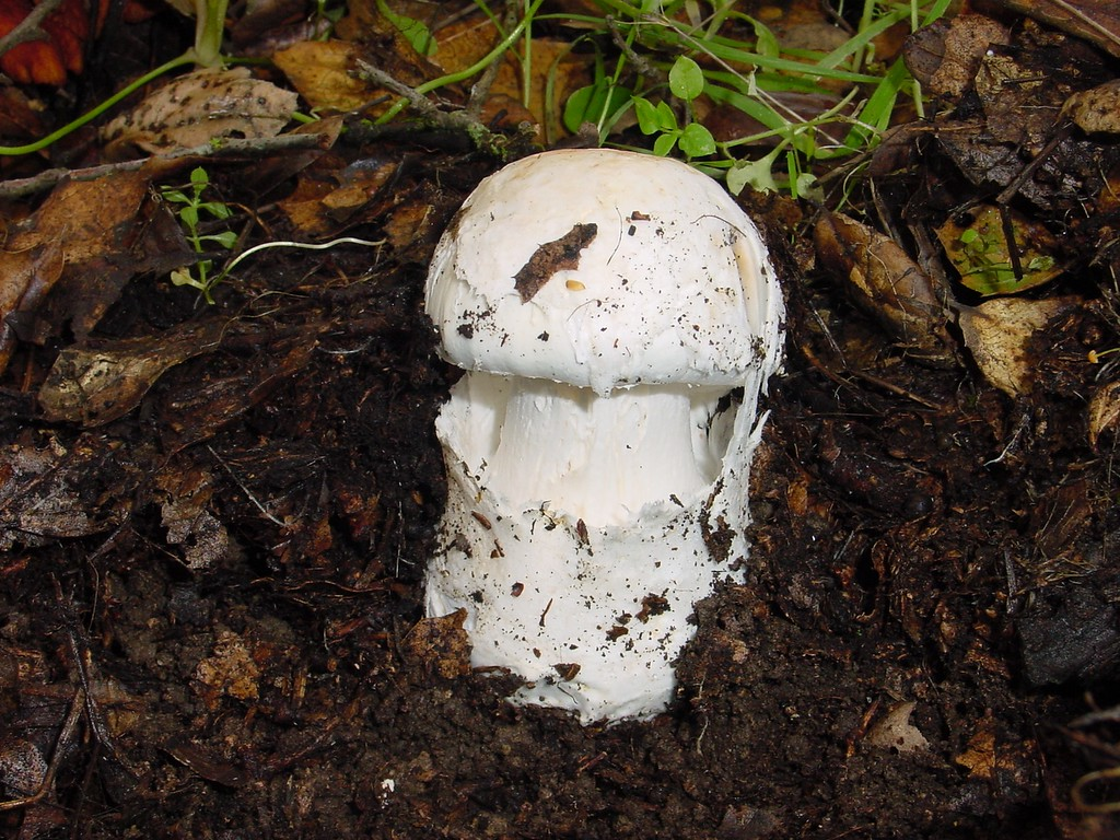 . TOXIC: Destroying Angel (Amanita ocreata) grows on or near a variety of oak trees. The cap may be white or ochre, and often has a brownish center. The stem and gills are white. Ingestion can cause jaundice, delirium, seizures, coma and death. (Photo by Mike Davis, University of California)