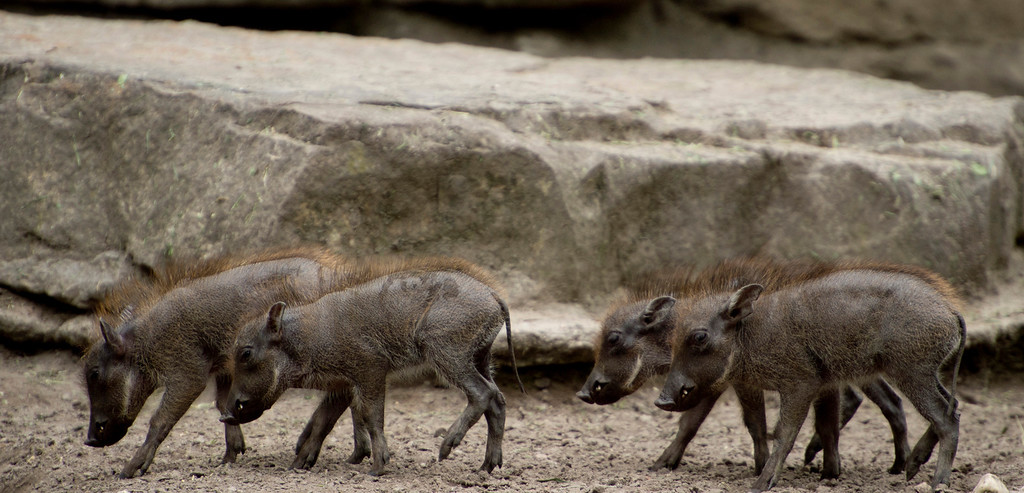 . Month-old warthogs  in Berlin on May 24, 2013.  AFP PHOTO / ODD ANDERSEN