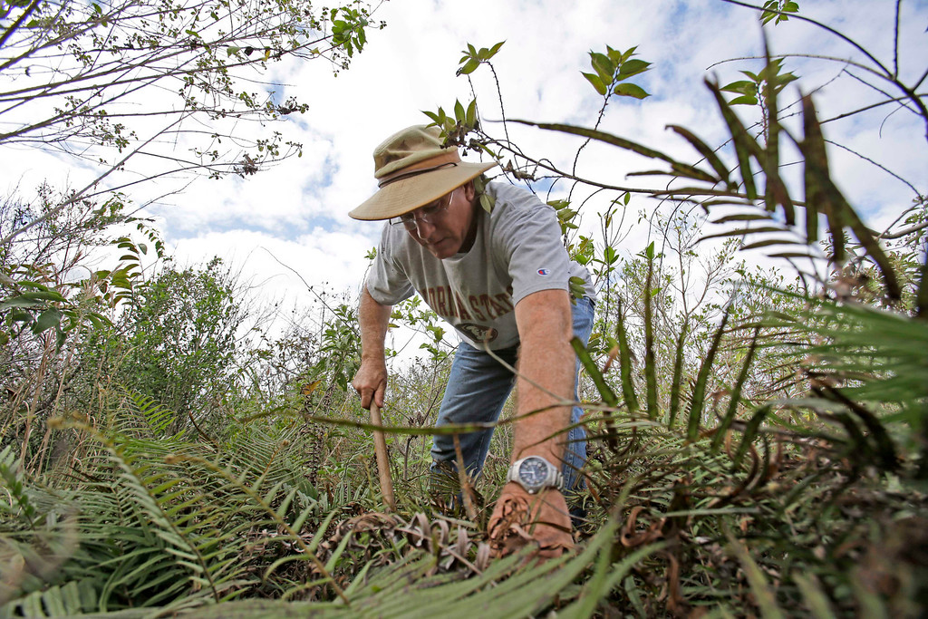 """. Jim Howard of Cooper City, Fla., searches under the dense foliage in the Florida Everglades looking for pythons as part of the \""""Python Challenge.\"""" The large snakes are an invasive species and are considered a menace to Florida\'s swamplands. (AP Photo/Wilfredo Lee)"""
