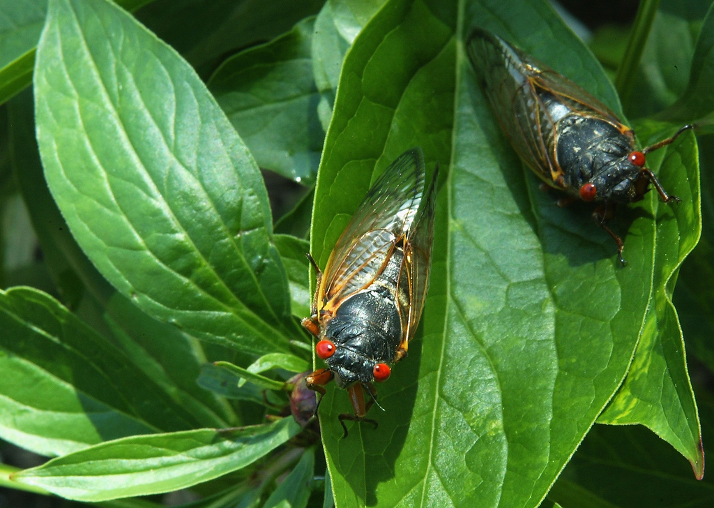 . Newly emerged adult cicadas dry their wings May 16, 2004 at a park in Washington, DC. After 17-years of living below ground, billions of cicadas belonging to Brood X begin to emerge across much of the eastern United States. The cicadas shed their larval skin, spread their wings, and fly out to mate making a tremendous noise in the process.  (Photo by Alex Wong/Getty Images)