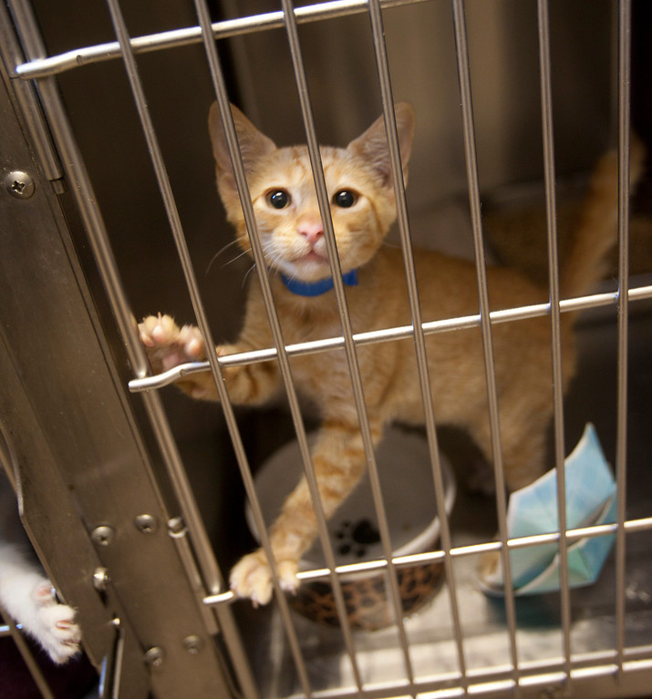 . A kitten available for adoption at the San Jose Animal Care Center in San Jose Saturday, July 21, 2013. South Bay\'s animal shelters are overrun and looking for help from the public. All the shelters are working together on an adoption initiative. (Patrick Tehan/Staff)