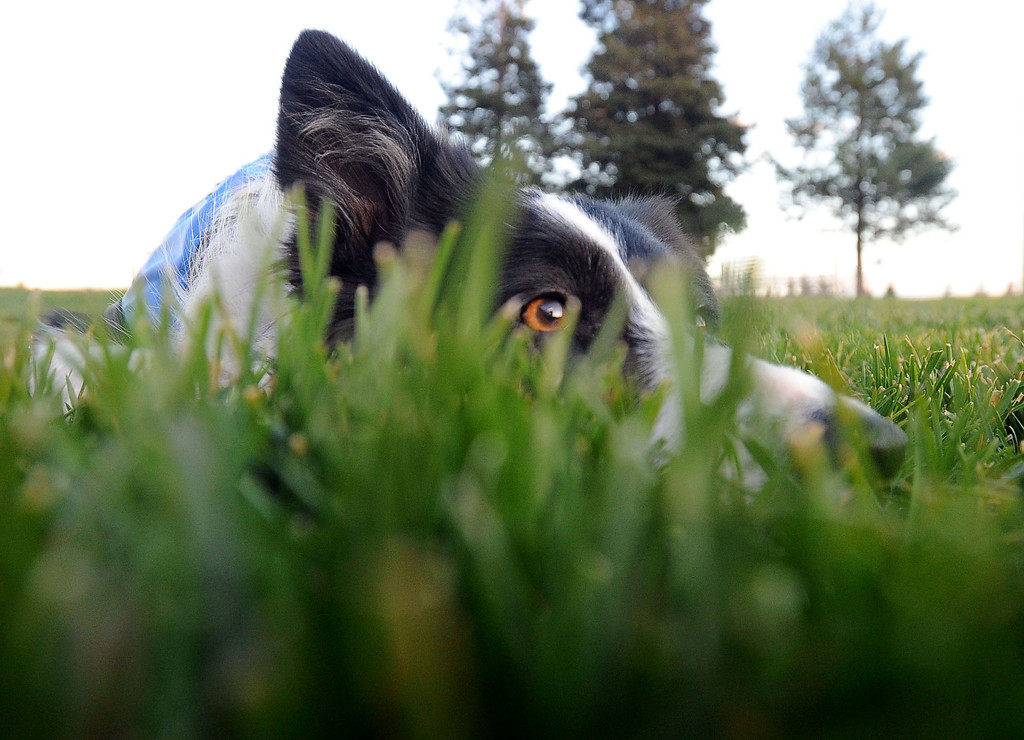 . A dog named Shelby, owned by 4Paws Goose Control, keeps a low profile as she waits for geese to land on the soccer field at the Dublin Sports Grounds in Dublin, Calif., on Friday, Feb. 8, 2013. The the city hired the goose-chasing dogs to keep the Canada geese off the sports grounds. Other cities, like Fremont and Alameda, have also hired dogs to keep the geese away from their parks. (Doug Duran/Staff)