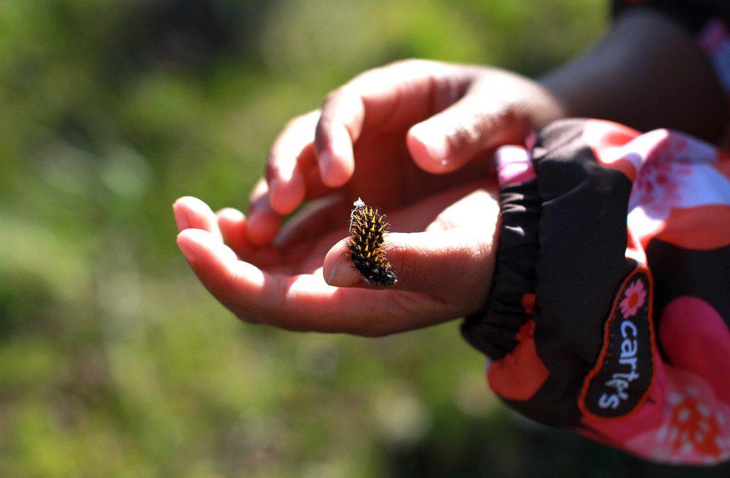 . Parnavi Jain, 3, holds a Bay Checkerspot caterpillar before releasing it into its natural habitat at the Edgewood County Park and Natural Preserve in Redwood City on Thursday, Feb. 21, 2013. Volunteers, under the direction of scientist Stuart Weiss, released four hundred of the caterpillars into the park; the park\'s butterfly population became extinct in 2003. The Bay Checkerspot butterfly is on the federal threatened list of endangered species. (Kirstina Sangsahachart/ Daily News)