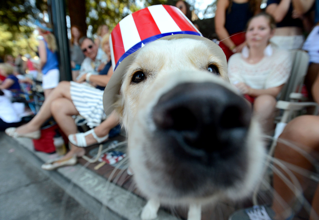 """. A dog named \""""Tahoe\"""" owned by Nancy Eaton, of Danville, wears a patriotic hat as he wathces the 4th of July Parade in Danville, Calif., on Thursday, July 4, 2013. The parade, sponsored by the Kiwanis Club of San Ramon Valley, features about 120 entries with an estimated 40,000 spectators attending. (Doug Duran/Bay Area News Group)"""