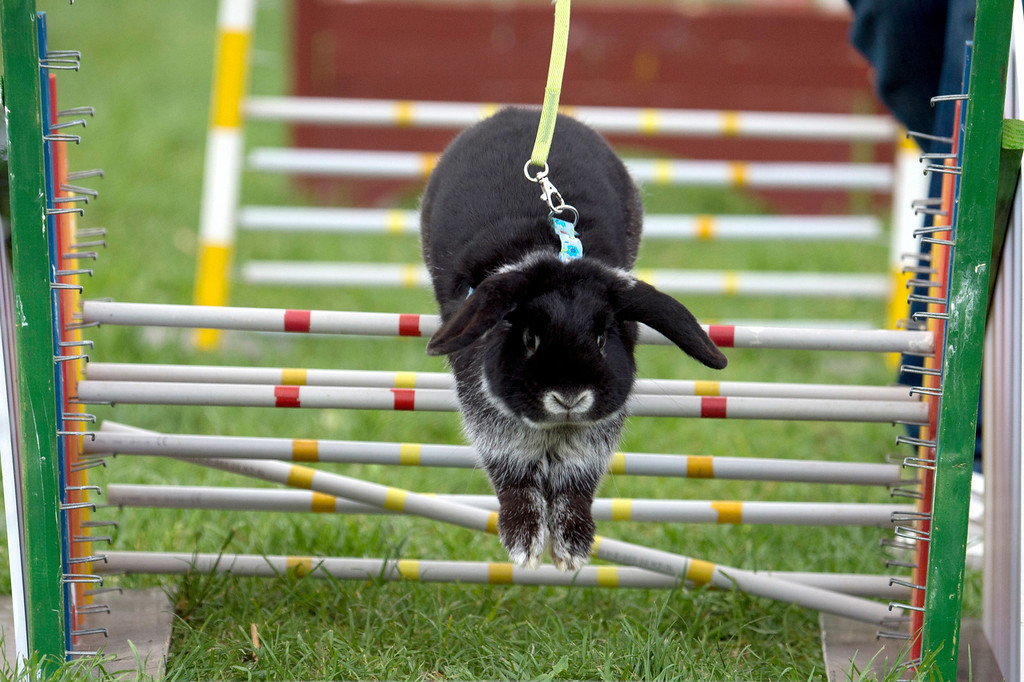 ". Rabbit ""Tom\"" jumps over an obstacle during the Kanin-Hop (rabbit jump) event of the Brandenburg agricultural fair in Paaren/Glien, northeastern Germany, on May 10, 2013.  AFP PHOTO / MARC TIRL /"