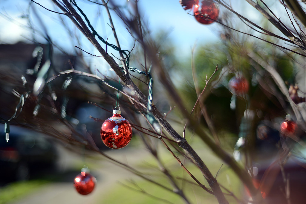 . Despite the green grass and the blue sky, it is December, and at 12:12:12, holiday decorations adorn the mostly bare limbs of a Japanese maple tree in Oakland, Calif. on Wednesday, Dec. 12, 2012. (Kristopher Skinner/Staff)