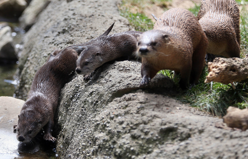 . Two of three new baby river otters, left, are seen with their mother Ginger, right, at the Oakland Zoo in Oakland, Calif., on Thursday, May 9, 2013. Three male pups, named Kohana, (swift) Hinto, (blue) and Shilah (brother) were born to river otter Ginger on February 24. (Jane Tyska/Bay Area News Group)