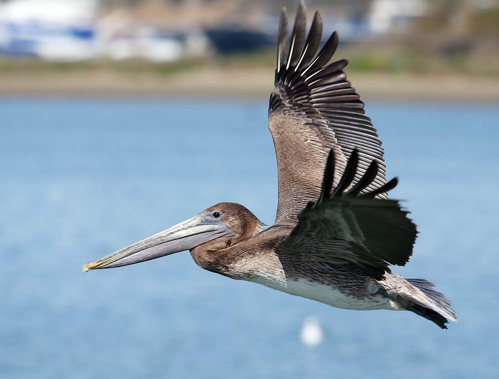 . A pelican takes flight as herring fisherman haul in their nets off Point Richmond near Brooks Island in Richmond, Calif., on Thursday, Feb. 14, 2013.  (Jane Tyska/Staff)